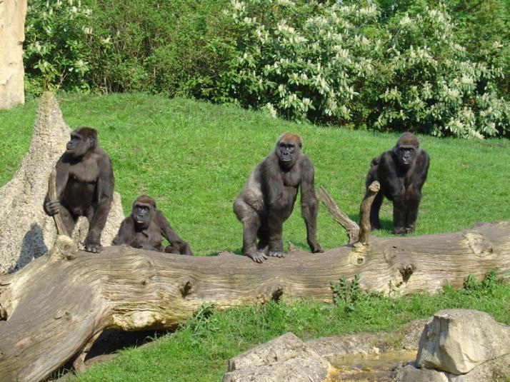 Beta4-gorillas