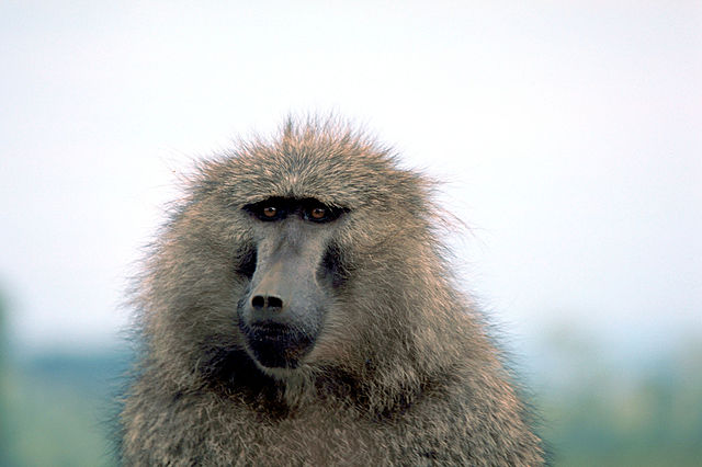 """Olive baboon"" by Stolz, Gary M. - United States Fish and Wildlife Service: Digital Library System (WO-5697-031). Licensed under Public domain via Wikimedia Commons - http://commons.wikimedia.org/wiki/File:Olive_baboon.jpg#mediaviewer/File:Olive_baboon.jpg"
